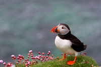 Puffin Images